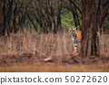 Tiger walking in old dry forest with first rain 50272620