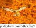 Landing nice Barn Owl in nice orange light 50272621