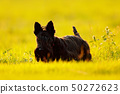 Cute portrait of black Scottish Terrier Dog 50272623