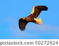 Flying Steller's sea eagle, Haliaeetus pelagicus 50272624