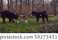 Bernese shepherd dog puppies in a park 50273431