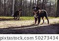 Bernese shepherd dog puppies in a park 50273434