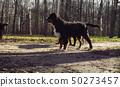 Bernese shepherd dog puppies in a park 50273457