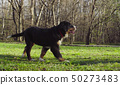 Bernese shepherd dog puppy on a grass in a park 50273483