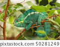 Panther Chameleon is brightly colorful chameleons 50281249