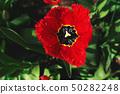 Red tulp flower open bud. 50282248