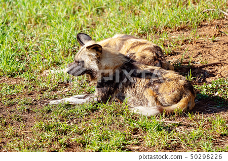 African Wild Dogs Lying Resting And Sleeping 50298226