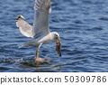 seagull eating fish 50309786