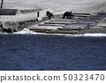 แม่หมีและลูกหมีสีน้ำตาลที่ปรากฏอยู่ใกล้กับคาบสมุทรชิเระโตะโกะ 50323470