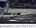 แม่หมีและลูกหมีสีน้ำตาลที่ปรากฏอยู่ใกล้กับคาบสมุทรชิเระโตะโกะ 50323471