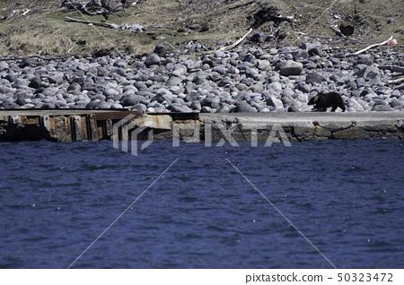 แม่หมีและลูกหมีสีน้ำตาลที่ปรากฏอยู่ใกล้กับคาบสมุทรชิเระโตะโกะ 50323472