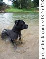 狗在河裡游泳 50326948