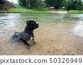 狗在河裡游泳 50326949