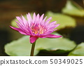 Lotus flowers and leaves are blooming. 50349025
