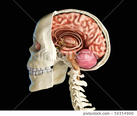Human skull cross section with brain. 50354900