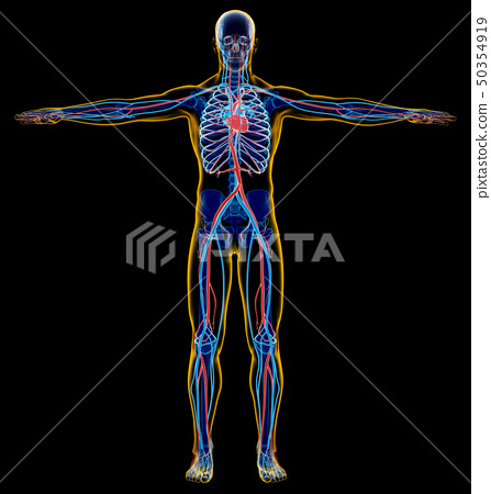 Man skeletal and cardiovascular system. x-ray. 50354919