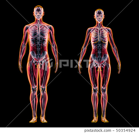 Man and woman muscle and skeletal systems. X-ray. 50354924