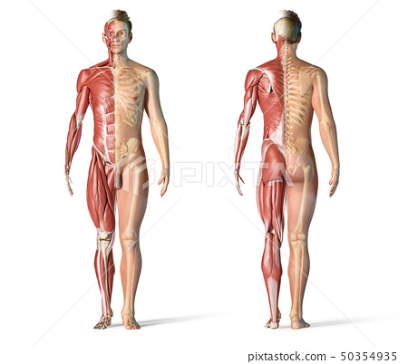 Man anatomy muscular and skeletal systems. 50354935
