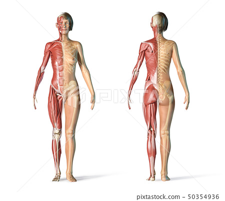 Woman skeletal and muscular systems, rear and 50354936