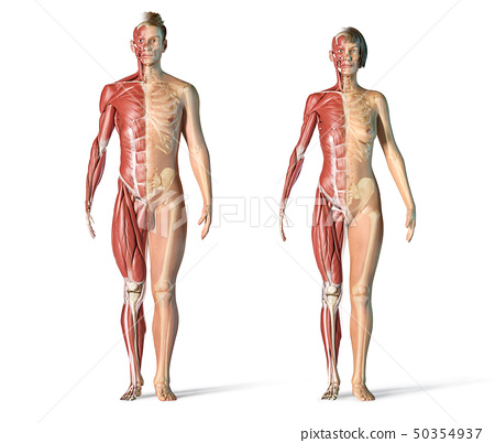 Man and woman muscle and skeletal systems. 50354937