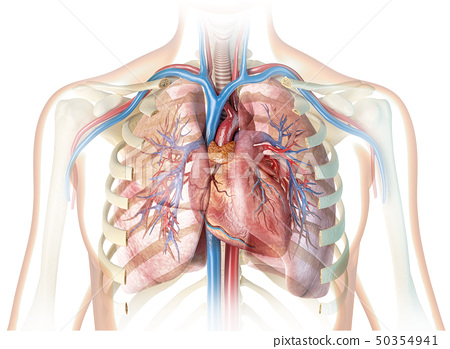 Human heart with vessels, lungs, bronchial tree 50354941