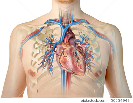 Human heart with vessels and bronchial tree. Front 50354942