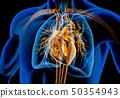 心 解剖学 x光 50354943