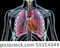 心 解剖学 x光 50354944