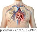 心 解剖学 横断面 50354945