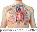 心 解剖学 人类 50354969