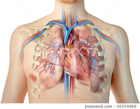 Human heart with vessels, lungs, bronchial tree 50354969