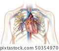 心 解剖学 人类 50354970