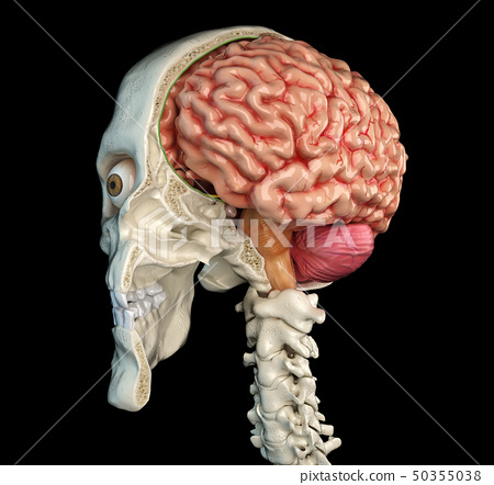 Human skull cross section with brain. 50355038