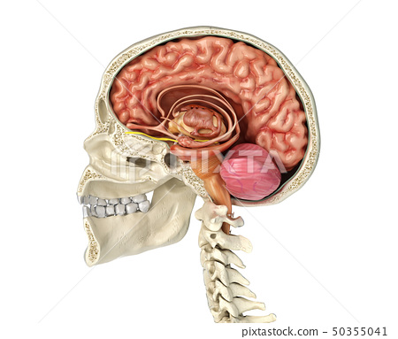 Human skull cross section with brain. 50355041