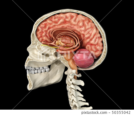 Human skull cross section with brain. 50355042