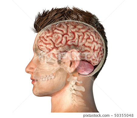 Man head with skull cross section with brain. 50355048