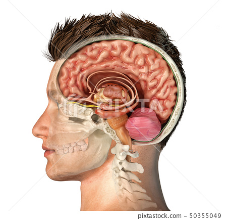 Man head with skull cross section with brain. 50355049