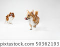 Spaniel is playing on the white background 50362193