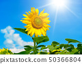 Sunflower flower against blue sky and sun. 50366804