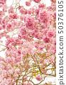 Pink trumpet tree or Tabebuia rosea flower 50376105