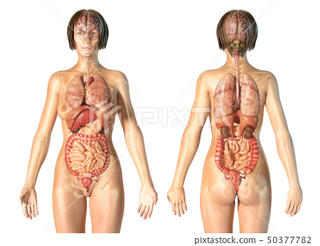 Woman anatomy internal organs, rear and front 50377782