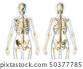 Woman skeletal system front and rear views. 50377785