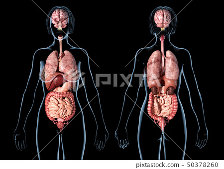 Woman anatomy internal organs, rear and front 50378260