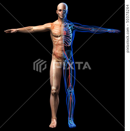 Man skeletal, internal organs diagram and x-ray 50378264