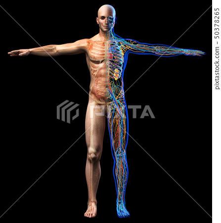 Man skeletal, internal organs diagram and x-ray 50378265