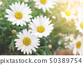 Spring daisy flowers 50389754