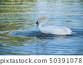 closeup of swan Making her toilet  in the lake 50391078
