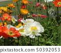 ดอกไม้สีขาวและสีส้มสวยงาไอซ์แลนด์ 50392053