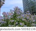 ดอกไม้สีฟ้าที่บานเต็มบานคือ Holi 50392136