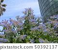ดอกไม้สีฟ้าที่บานเต็มบานคือ Holi 50392137